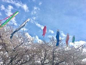 桜・鯉のぼりH29.4